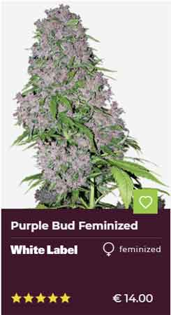 Purple Bud